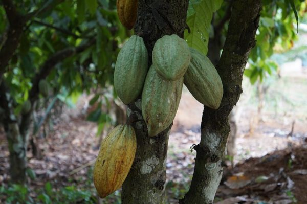 NIGERIAN GOVERNMENT DISTRIBUTES 66,000 COCOA SEEDLINGS TO SMALLHOLDER FARMERS