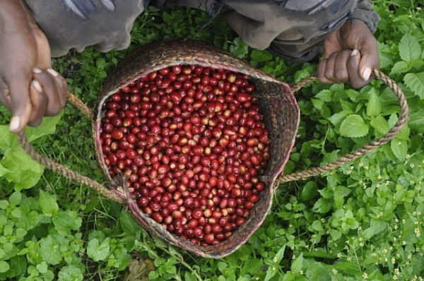 KENYA COFFEE COOPERATIVES UNITE TO REVIVE AILING COFFEE FARMS