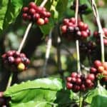 ROBUSTA COFFEE BEANS AT RISK DUE TO CLIMATE CHANGE