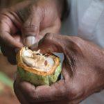 LES ONG'S DEMANDENT LE GHANA ET LA CTE D'IVOIRE DE SOUTENIR LES PRODUCTEURS DE CACAO