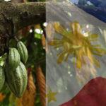 POURQUOI CE FILIPINO MAILMAN QUITTER POUR DEVENIR AGRICULTEUR DE CACAO