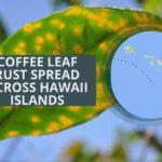 LA ÓXIDA DE LAS HOJAS DE CAFÉ SE EXTIENDE POR LAS ISLAS DE HAWAII