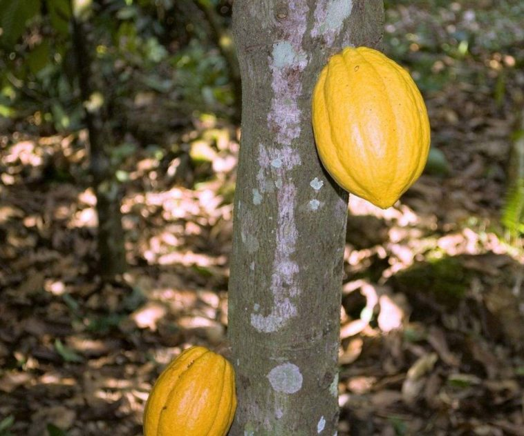 yellow cacao