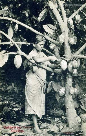 cocoa girl in Sri Lanka 1900