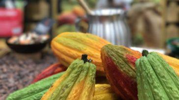 nigeria cocoa pod