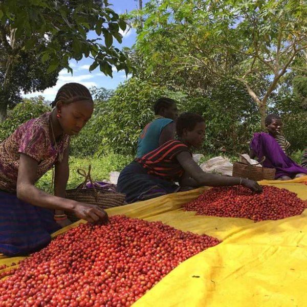 NON-PROFITS PARTNER TO PRESERVE ETHIOPIA'S FOREST COFFEE