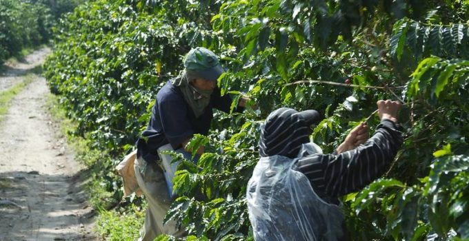 ROBUSTA GROWS ON BRAZIL AS OUTPUT INCREASES IN CHALLENGE TO VIETNAM