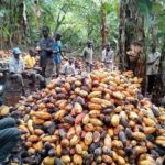 NIGERIA SUCCÈS DOUX ALORS QUE LES EXPORTATIONS DE CACAO DES ÉTATS-UNIS AUGMENTENT 352%