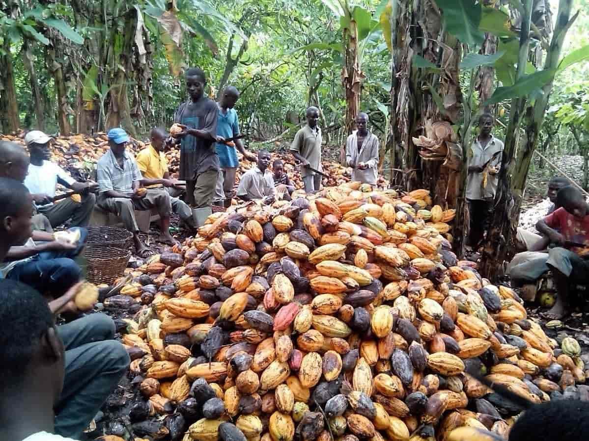 NIGERIA SWEET SUCCESS AS U.S. COCOA EXPORTS RISE 352%