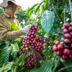 VIETNAM EXPORTS OF COFFEE TO UK IN DRAMATIC DECLINE